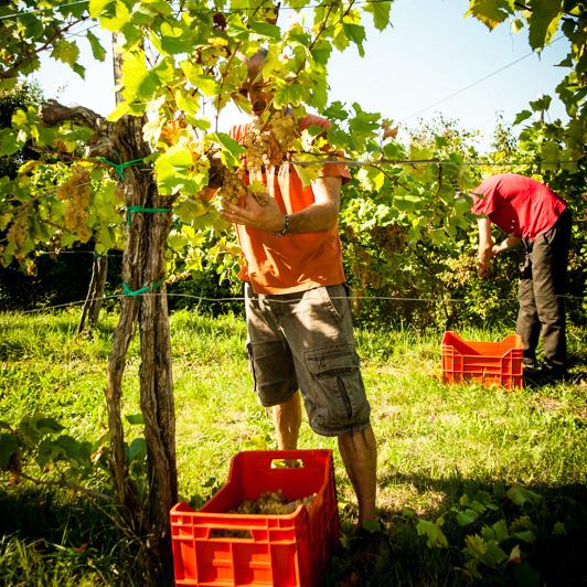 sloveense wijnen bijgesneden