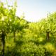 sloveense wijnen